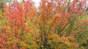 fall leaves, autumn leaves, leaves changing color, fall colors, beautiful fall leaves